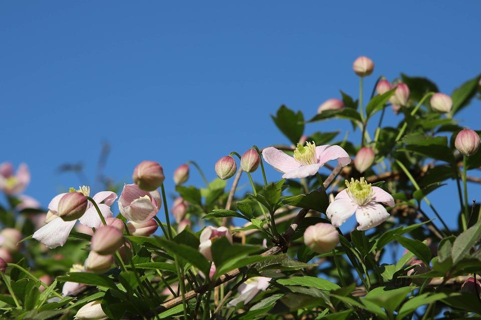 rostliny na pergole